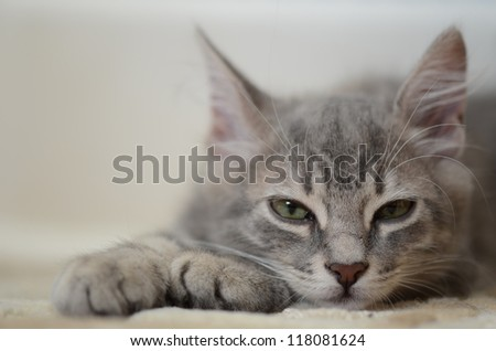 grey kitten - stock photo