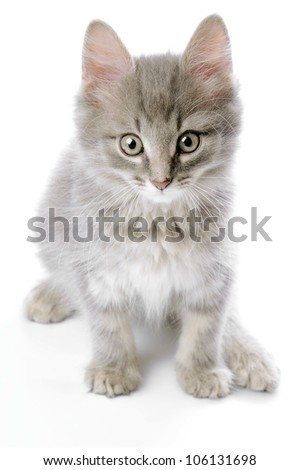 Grey kitten closeup