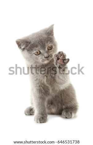 Grey kitten isolated on a white