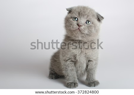 Grey kitten isolated on white - stock photo
