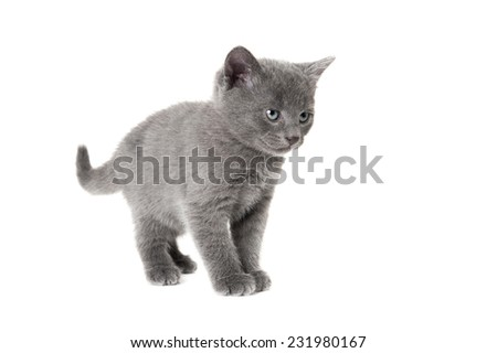Grey kitten making a stance on the white background