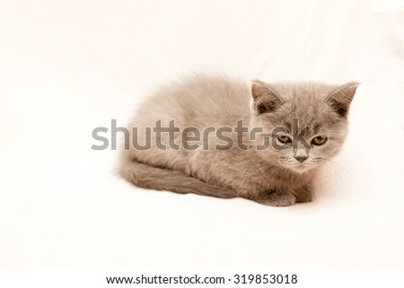 Grey kitten on pink background