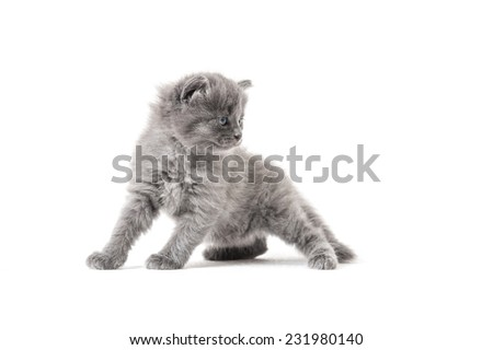 Grey kitten standing gracefully and looking away on a white background