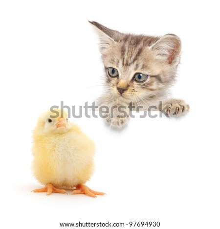 Grey kitten staring at a tiny baby chicken. - stock photo