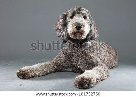 Grey labradoodle isolated on grey background. Studio shot. - stock photo