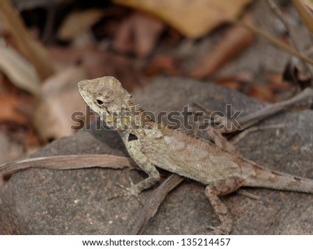 Grey lizard on a stone