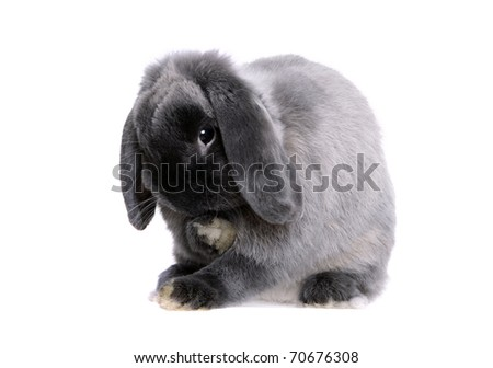 Grey lop-eared rabbit breeds Ram. In the Oriental calendar 2011 - the year of rabbit.