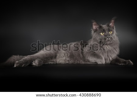 Grey maine coon on black background - stock photo