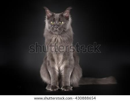 Grey maine coon sitting on black background - stock photo