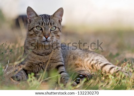 grey male cat sits in the grass - stock photo