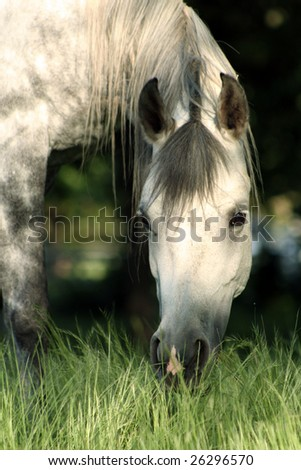Grey mare with head in tall grass