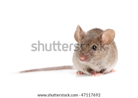 grey mouse close up isolated on white background - stock photo