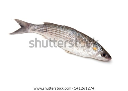 Grey Mullet or flathead mullet fish (Mugil cephalus) isolated on a white studio background.