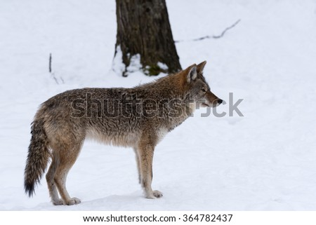 Grey or Gray Wolf in Winter