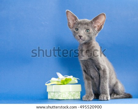 Grey oriental kitten on blue background with gift box