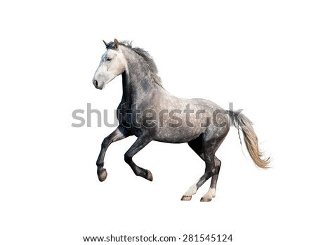 grey orlov trotter horse stallion galloping isolated on white background - stock photo