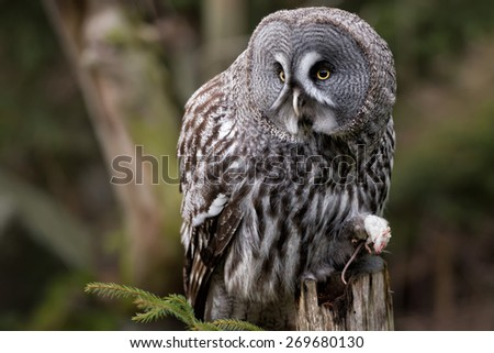 Grey owl portrait on the forest background  - stock photo