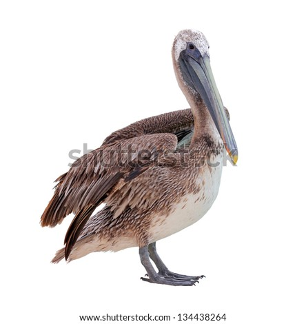 Grey pacific pelican isolated on white. - stock photo