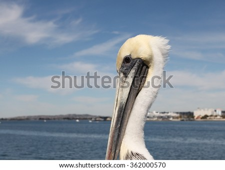 Grey pacific pelican with blue sky and the skyline of San Diego in the background. - stock photo