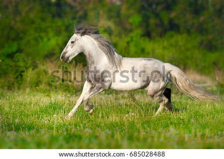Grey piebald horse run on pasture