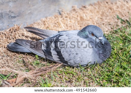 Grey pigeon bird laying on grass on a bright summer day