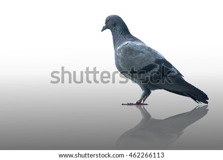 Grey Pigeon Isolated on White Background with Reflection