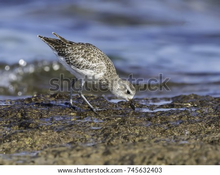 Grey Plover Foraging on the Sea Shore
