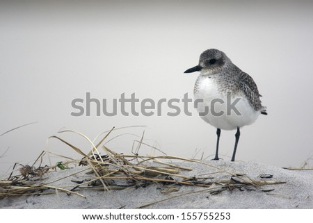 Grey plover, Pluvialis squatarola by water,  USA