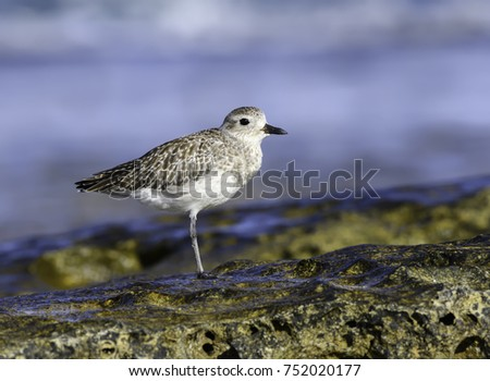 Grey Plover Standing on One Leg