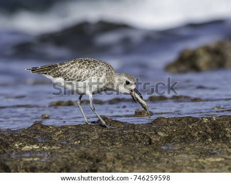 Grey Plover Swallowing Fish