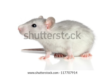 Grey rat sits on a white background - stock photo