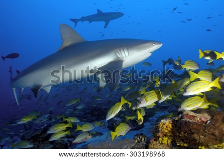 GREY REEF SHARK SWIMMING ON THE CORAL REEF - stock photo