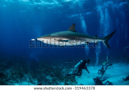 Grey reef shark with divers