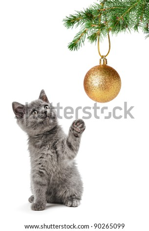grey scottish cat on the white background - stock photo