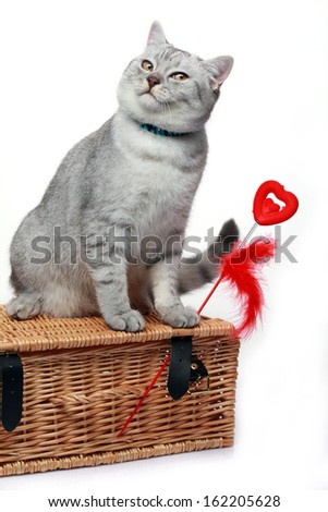 grey scottish cat with a red heart smiling - stock photo