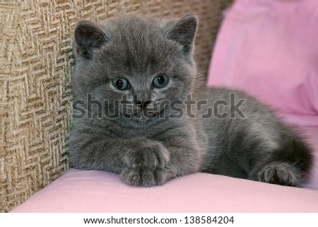 Grey scottish kitten on the bed - stock photo
