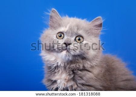 Grey Scottish purebred cat is sitting on blue background - stock photo