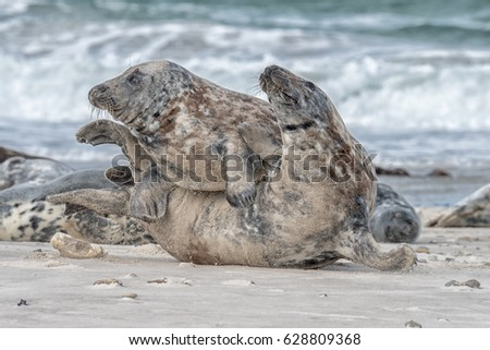 Grey seal at the Island  Helgoland Germany