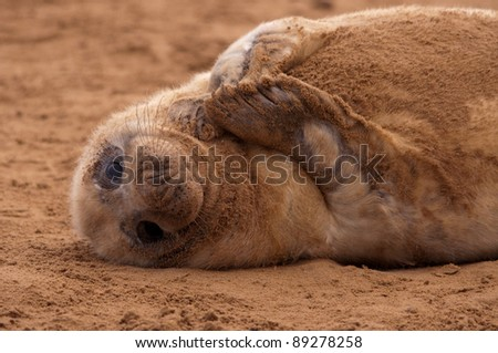 Grey Seal Cub on Beach