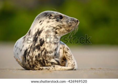 Grey Seal, Halichoerus grypus, detail portrait on the sand beach. Seal with sand beach. Animal in the nature sea habitat. Seal with sunrise light, beach of United Kingdom