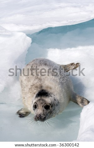 Grey seal (Halichoerus grypus) in the Canadian arctic - stock photo