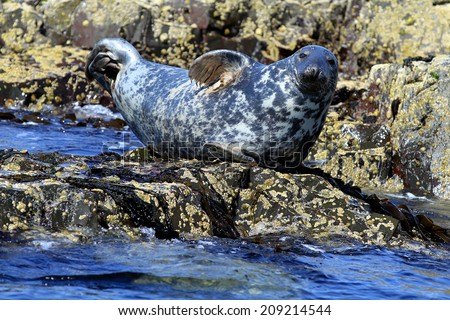 Grey Seal (Halichoerus grypus) on a rock in the sea. Image taken in the wild on the UK coastline - stock photo