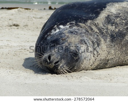 Grey seal (Halichoerus grypus) on Helgoland North Sea, Germany - stock photo