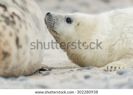 Grey seal - Helgoland