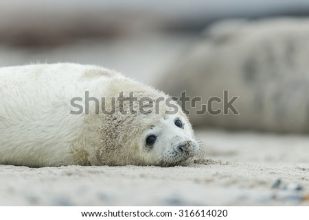 Grey seal -Heligoland-
