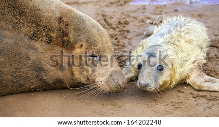 Grey seal on the beach in Donna Nook, Uk, mother and a newborn pup - stock photo