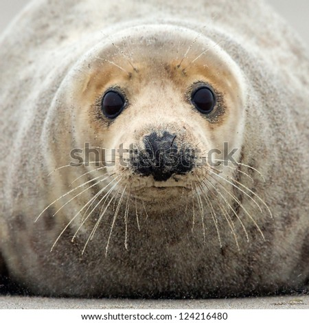 Grey seal portrait - stock photo