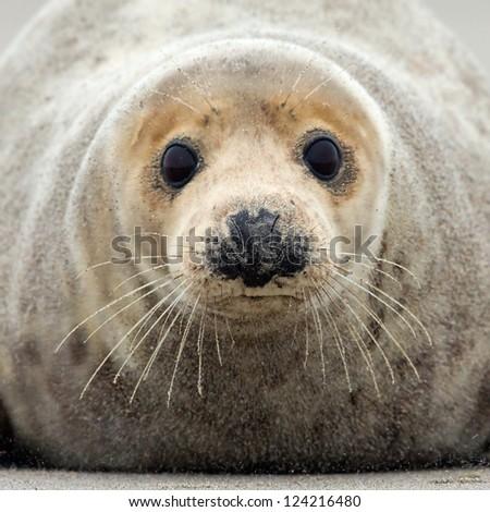 Grey seal portrait - stock photo