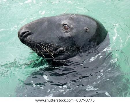 Grey Seal profile - stock photo