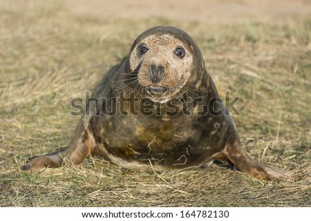 Grey seal pup (Halichoerus grypus) on the beach in Donna Nook, UK - stock photo